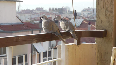 2 birds on balcony Stock Video Footage