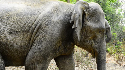 Forest Elephants Footage