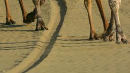 Camel caravan Footage