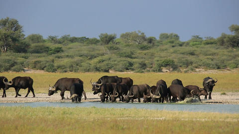 African buffaloes drinking Live Action
