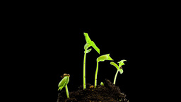 Bean sprouts, plant growth timelapse, Time-lapse g Footage