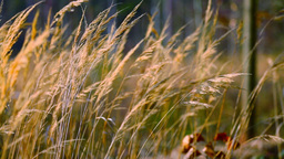 Dry grass in the field Footage