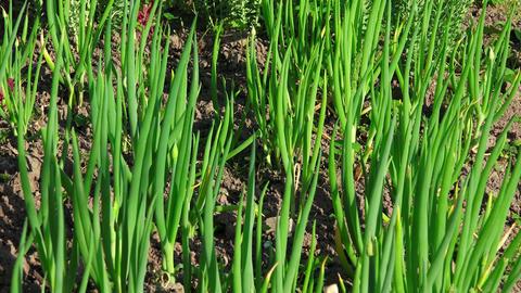 Onion growing in the garden. 4K Footage