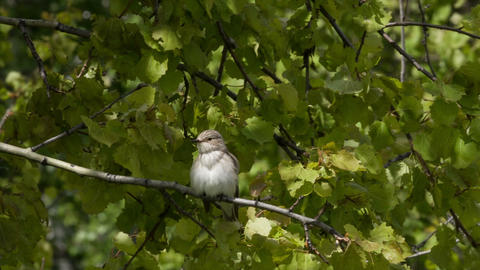 Gray flycatcher 2 Live Action