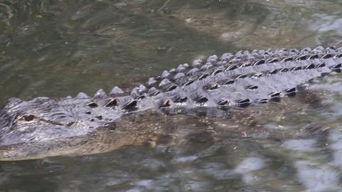 Alligator Swimming Footage