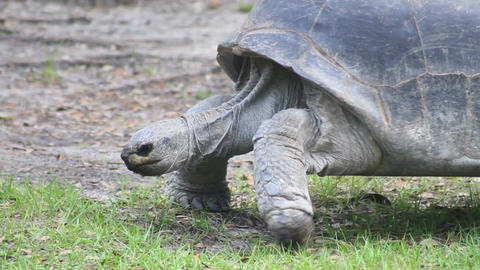 Tortoise Walking 1 Footage