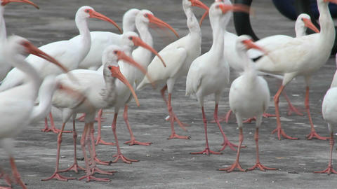 White Ibis Feeding Frenzy stock footage