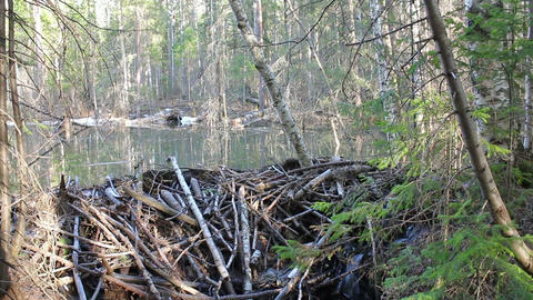 Beaver dam on the lake Footage
