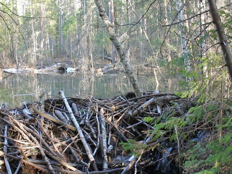 Beaver dam on the lake. 640x480 Footage
