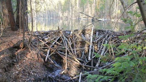 Beavers flooded the creek. 1280x720 Footage