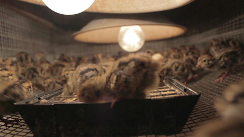 Quail chicks in battery farm 04 Footage