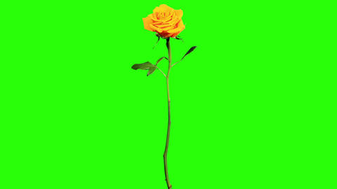 Blooming yellow roses flower buds green screen, FU Footage