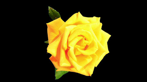 Blooming yellow roses flower buds ALPHA matte, FUL Footage