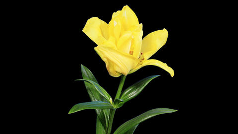 Blooming yellow lily flower buds ALPHA matte, FULL Live Action