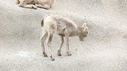Rocky Mountain Bighorn Sheep Lambs stock footage
