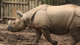 Indian Rhinoceros 2 Zoo Footage
