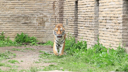 Siberian Tiger at the Zoo Footage