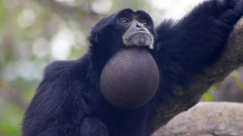 Primate Montage Footage