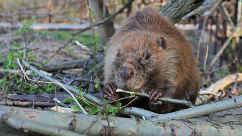 Beaver Eating Branch Footage