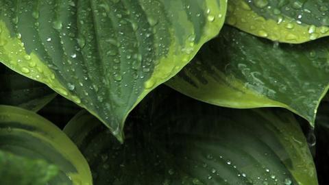 Rain on Leaves Footage