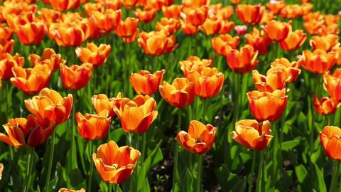 field of orange tulips blooming - slider dolly sho Footage