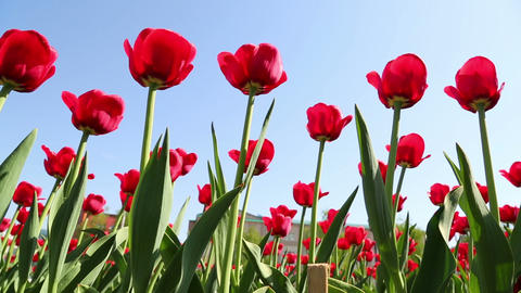 field of red tulips blooming - slider dolly shot Footage
