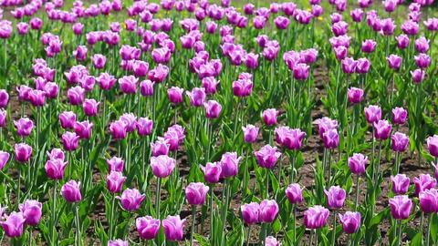 purple with white border tulips blooming varieties Footage