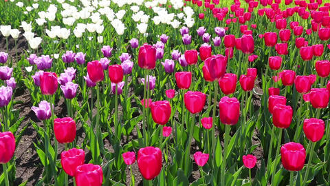 field of blooming different color tulips - slider  Footage