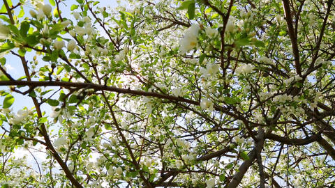 sun shining through blossom apple tree branches Footage