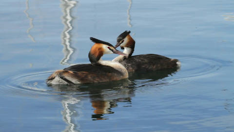 Great crested grebs (podiceps cristatus) courtship Footage