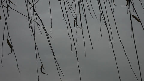 willow branches in winter Footage