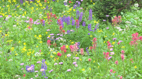 Alpine Meadow Wildflowers 05 Footage