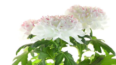 Beautiful Chrysanthemum flowers Footage