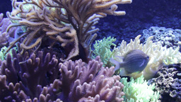 Sea Life - Coral Footage