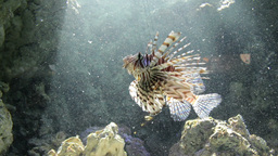 Lionfish, Red firefish (Pterois volitans) 1 Footage