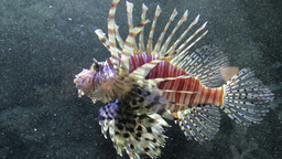Lionfish, Red Firefish (Pterois Volitans) 3 Footage