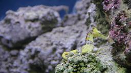 Seahorse (Hippocampus) 1 Footage