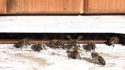 Bees are cooling down the temperature in the hive Live Action