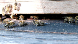 Bees at the inlet to the hive 11 Live Action
