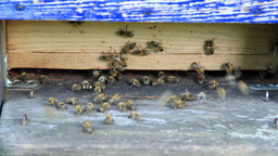 Bees at the inlet to the hive 13 Live Action