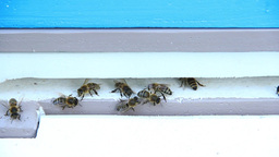 Bees at the inlet to the hive 15 Live Action
