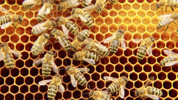 Bees on the honeycomb 1 Footage
