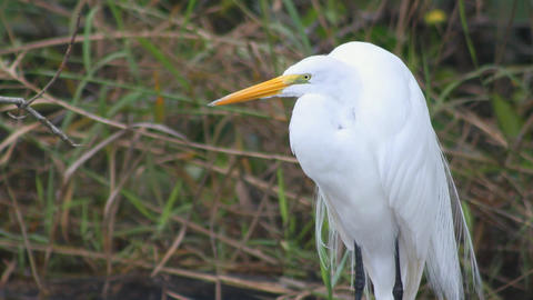 Great White Heron stock footage