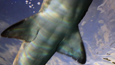 Shark From Low Angle stock footage