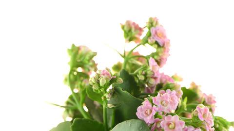Kalanchoe Calandiva Flowers stock footage