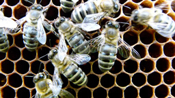 Bees on the honeycomb 6 Footage