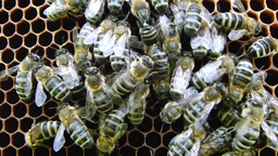 Bees on the honeycomb 8 Footage