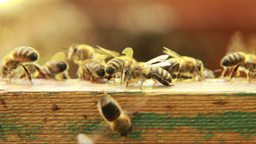 Bees on the hive Live Action