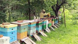 Bees. Beekeepers working in apiary 1 Footage