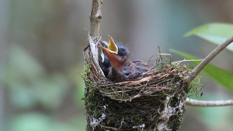 Newborn hungry baby birds in nest Footage